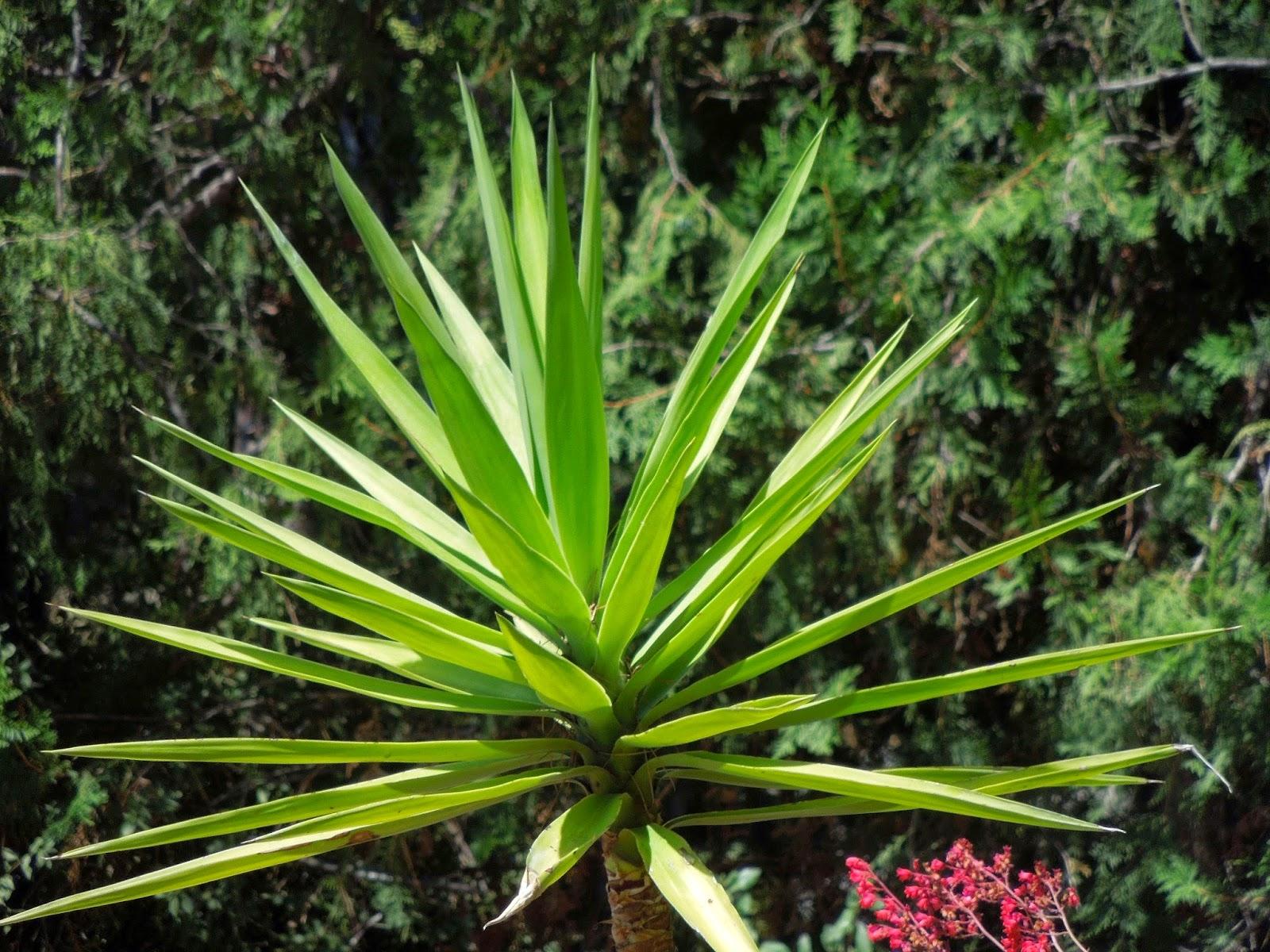 Planta yuca cuidados awesome palma china izote palma - Yucca elephantipes cuidados ...