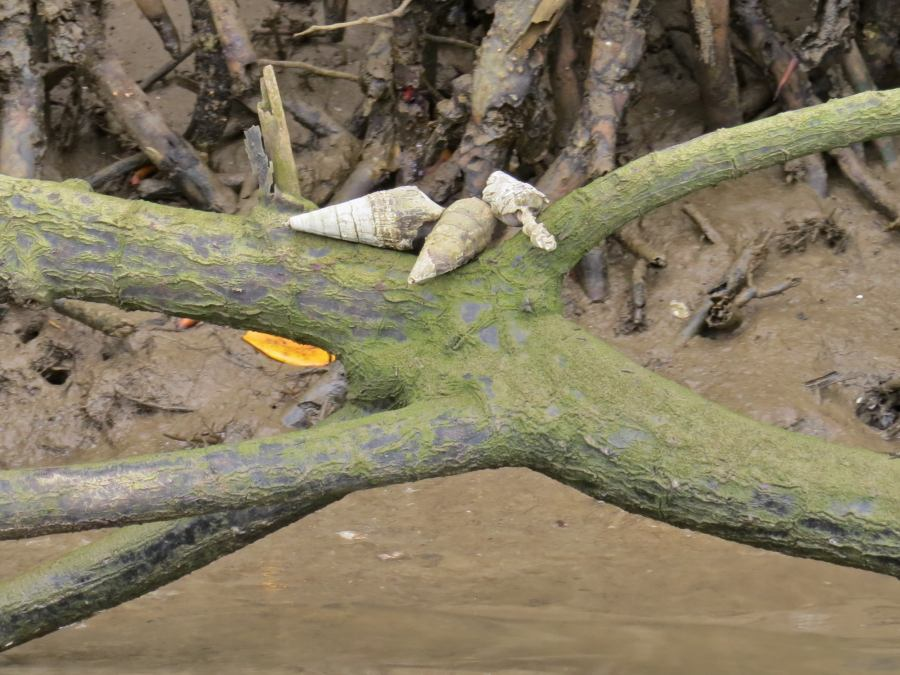 Mud-creeper snail shells with hermit crabs resting in a tree