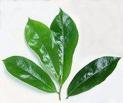 manfaat daun sirsak untuk asam urat