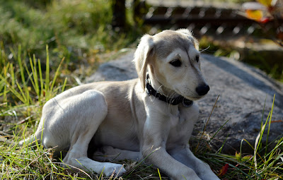 Saluki Puppy Pictures
