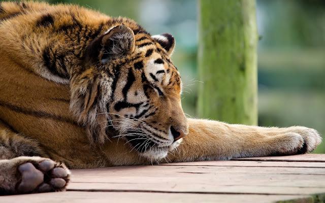 Fotos de Tigres Descanzando - Imagenes de Animales Salvajes Guepardos