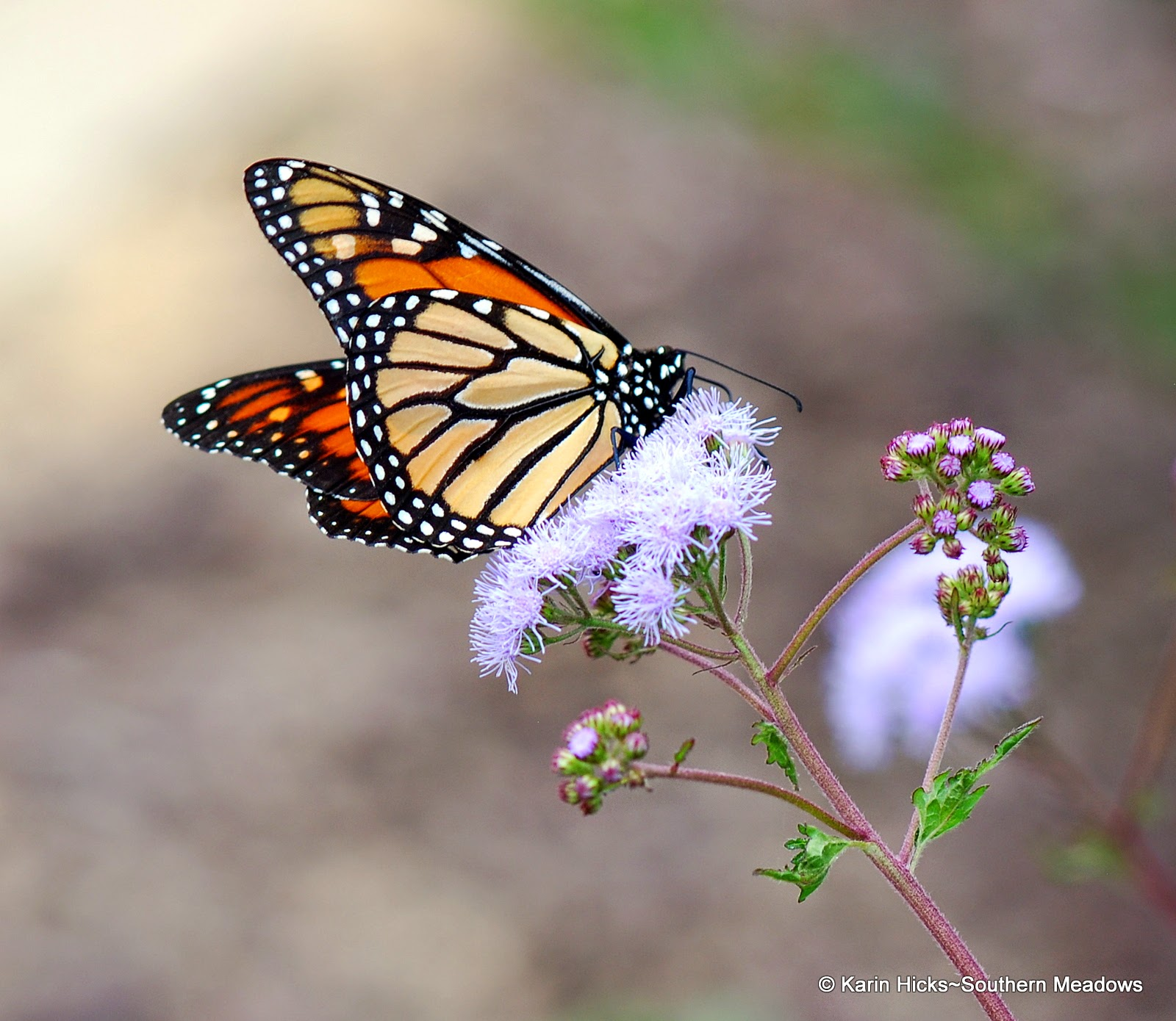 Monarch butterfly on ageratum bloom