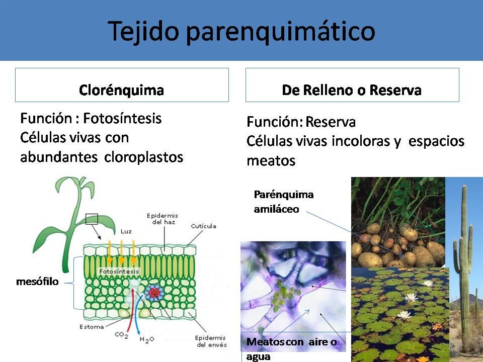 Biolog a histologia vegetal for Plantas fundamentales