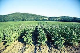 plantatie de tutun