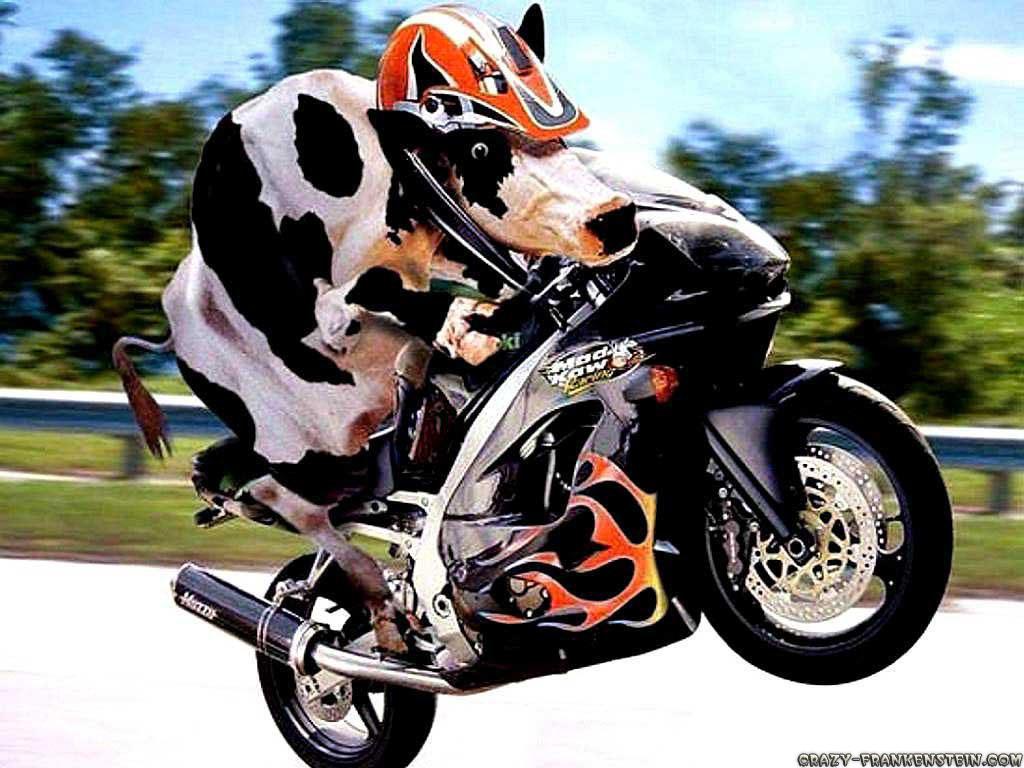 http://3.bp.blogspot.com/-1_HEK8_G7Ek/T6hPClSBUjI/AAAAAAAAAU0/lDrF5lUR1t0/s1600/cow-on-motorcycle-funny-animal-wallpapers.jpg