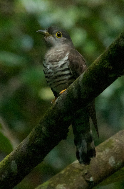 Indian Cuckoo (Cuculus micropterus)