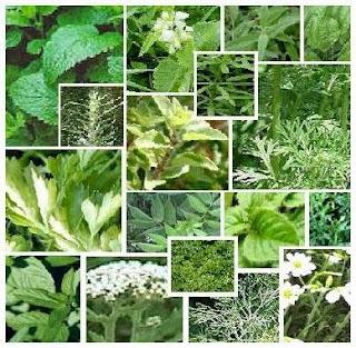9 Daun Tumbuhan Tanaman Obat Mata , Berair , Minus , Plus , Kabur , dan Katarak -Medicinal Plants Eyes