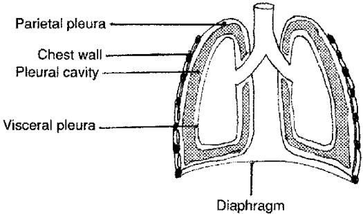 Masaje De Diafrgma moreover Mediastinum in addition Lunge also Pleurae besides 07. on pleuras of the thoracic cavity