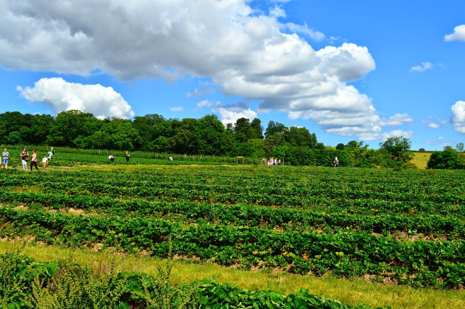 Pick your own strawberries at Brockbushes farm, Corbridge