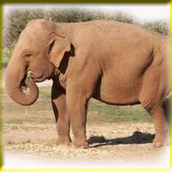 gajah_asia_4