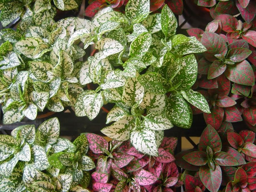 Plantas y flores plantas especies follaje for Pianta rosa