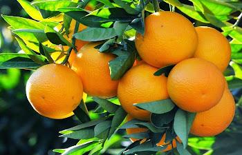C Vitaminli Portakal Faydaları ve Portakal Kaç Kalori ?