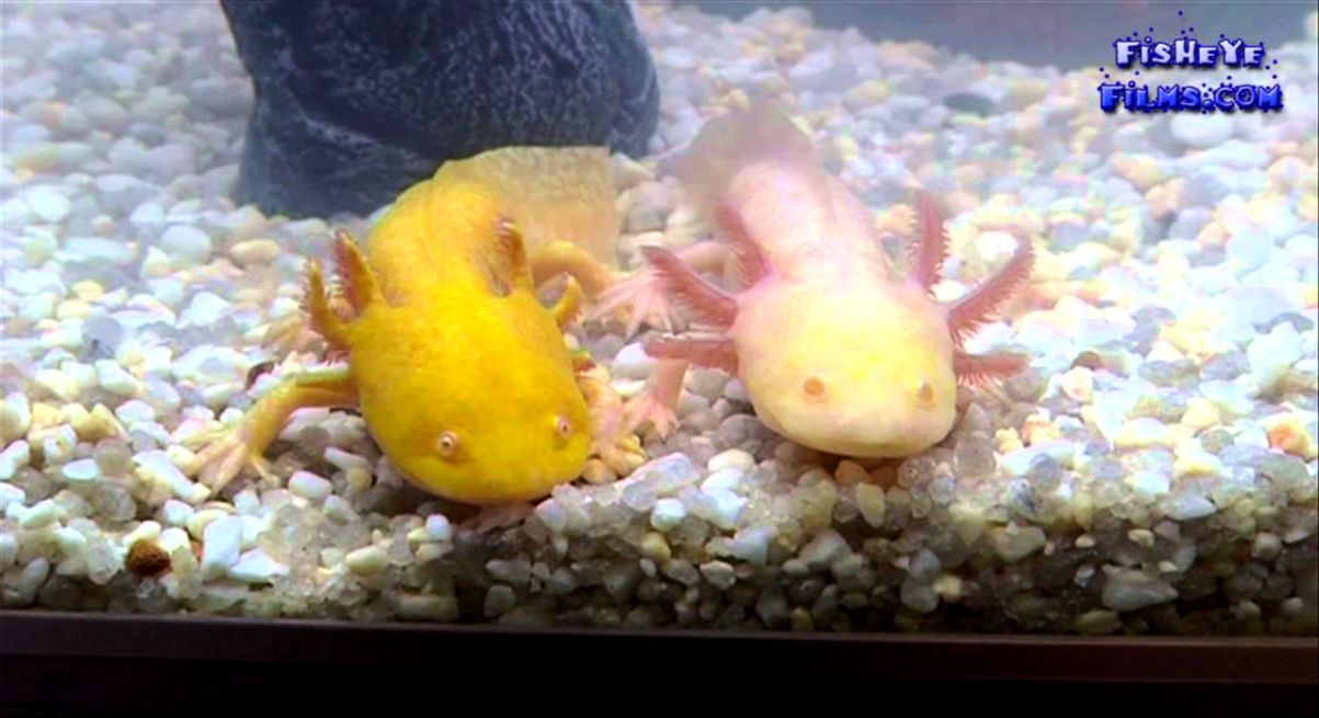 All about Keeping Axolotls  Mexican walking fish   YouTube