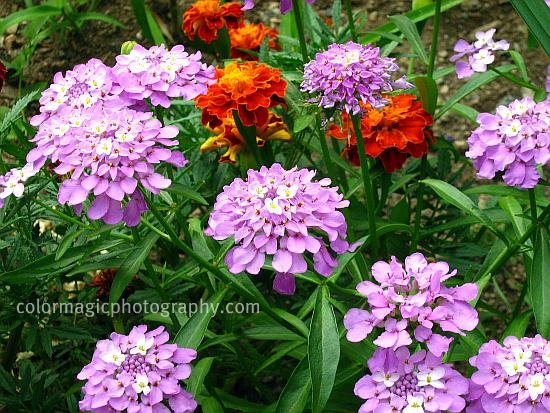 Globe Candytuft-Iberis umbellata purple