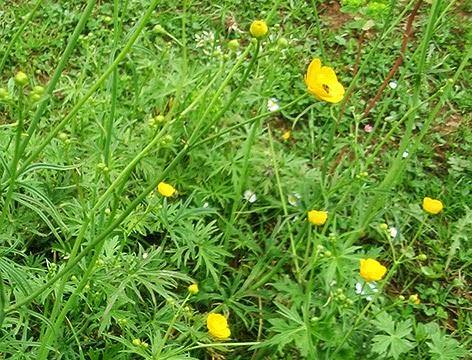 Ranúnculo arvense (Ranunculus arvensis) flor silvestre amarilla
