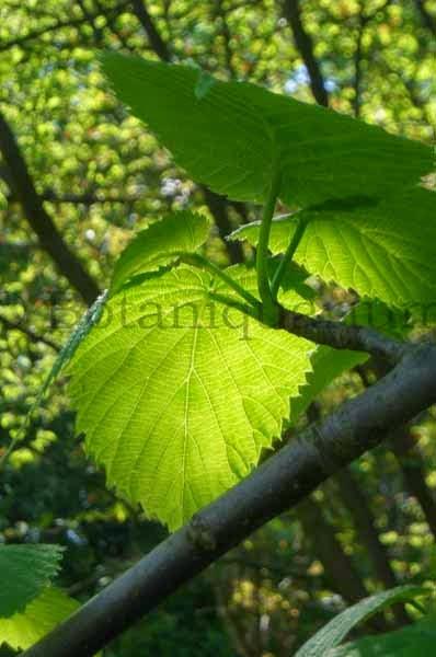 Botaniquarium - Davidia involucrata foliage