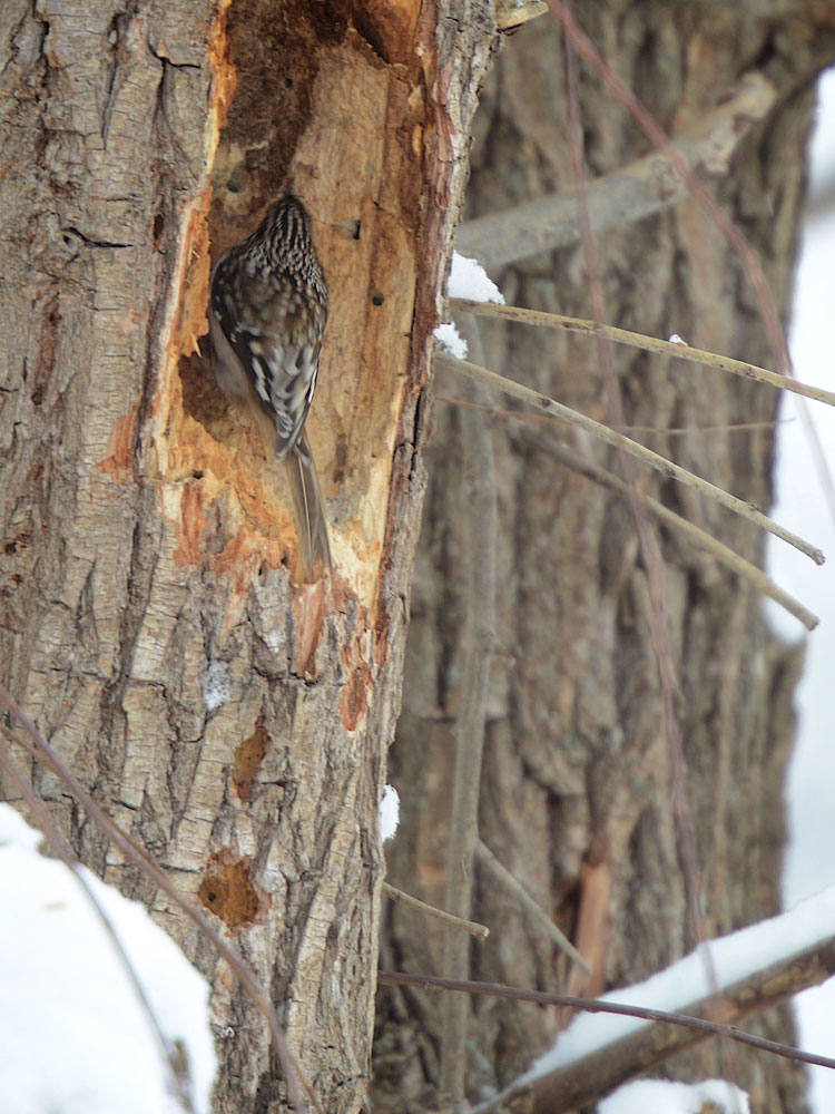 Brown Creeper (Certhia americana) checks out an abandoned woodpeckers hole.