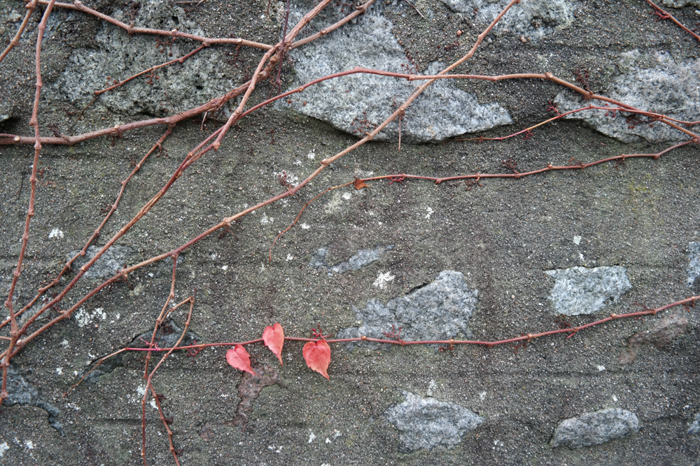 Three red leaves left on a Virginia creeper