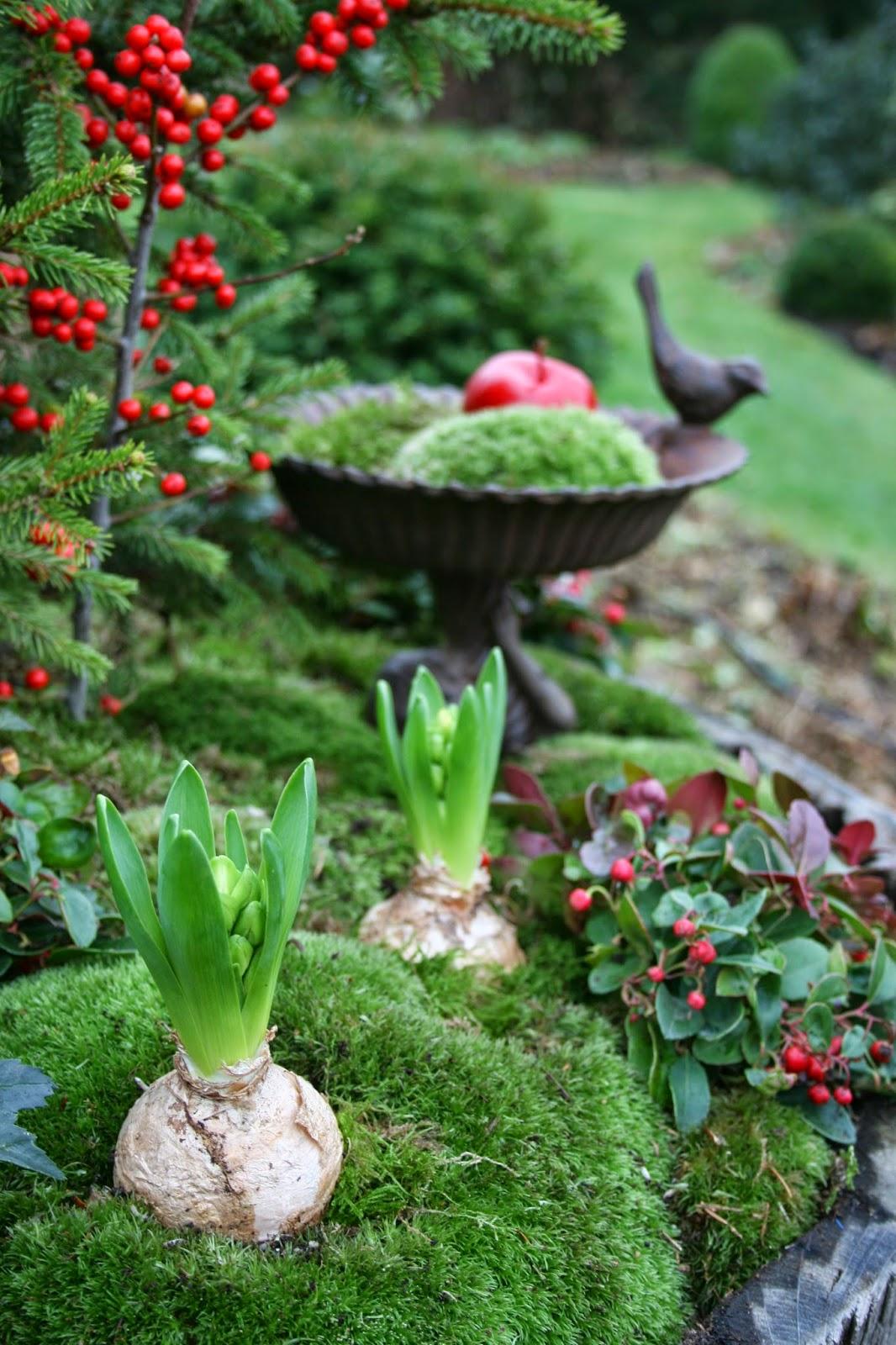 hyacinter utomhus julplantering vaxade äpplen