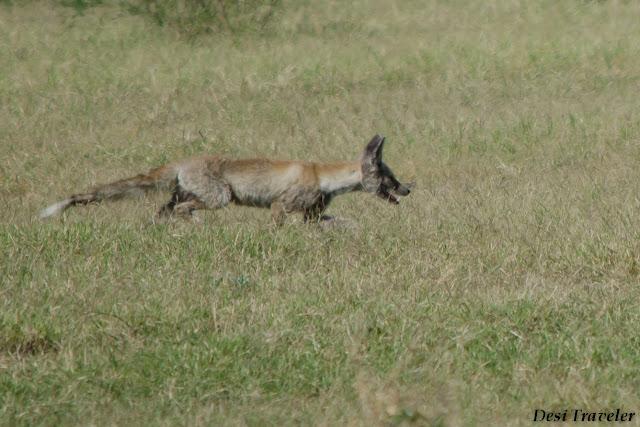 fox looking for food in tal chhapar rajasthan