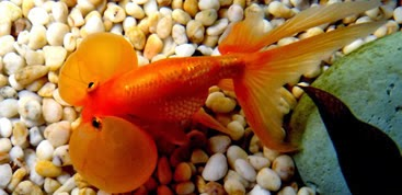 Club acuaristas bragado peces de agua fr a for Alimentacion para peces de agua fria
