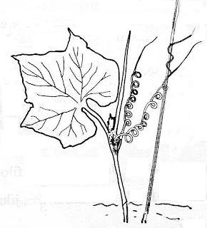 Gambar 14 . Gerak Tigmotropisme pada sulur tanaman markisa