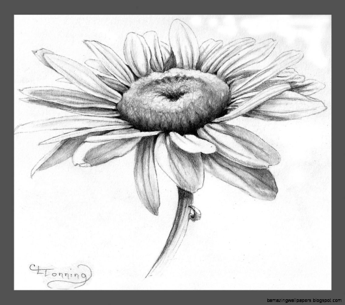 Daisy Drawing Related Keywords  Suggestions   Daisy Drawing Long