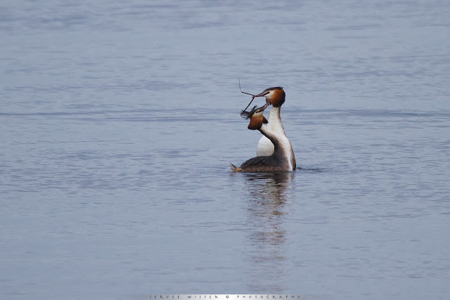 Baltsende Futen - Great Crested Grebe - Podiceps Cristatus