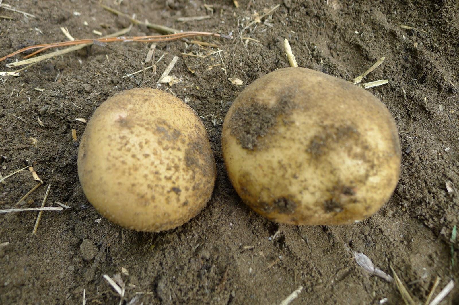 Kennebec Potatoes, urban farming, gardening