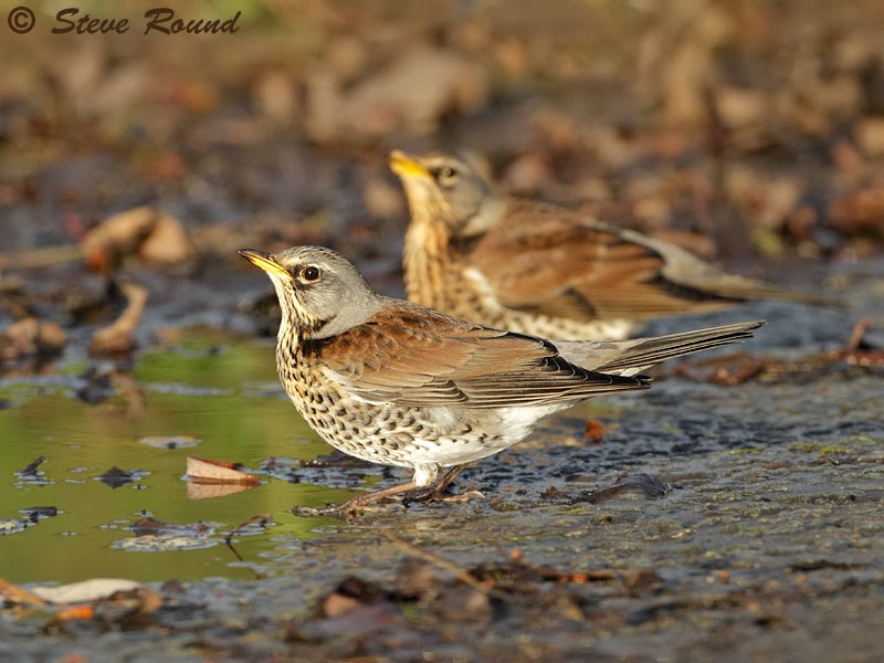 bird, nature, wildlife, Thrush