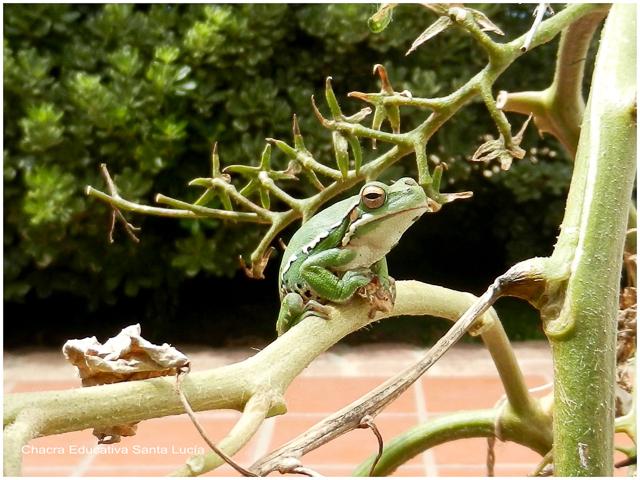 Las ranas trepan a las plantas con facilidad - Chacra Educativa Santa Lucía