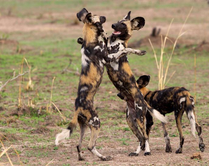 Animal You: African Wild Dog