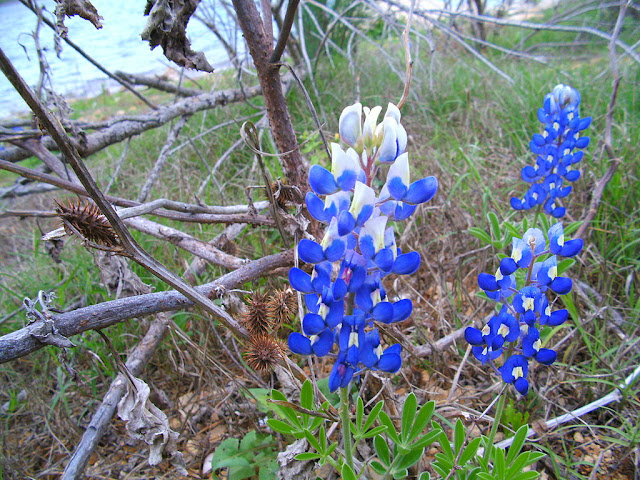 bluebonnet flower
