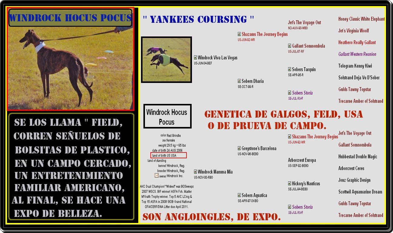COURSING, ESTOS GALGOS SON UN POCO MAS CHICOS QUE LOS DE EXPO, CORREN SEÑUELOS.