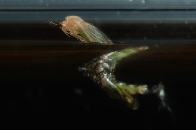 midge emerging from pupa