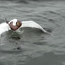This seagull struggles to survive from a small predator