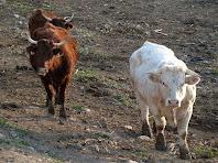 Vaques a prop de La Codina