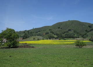 Field carpeted with wild mustard at the foot of green hills