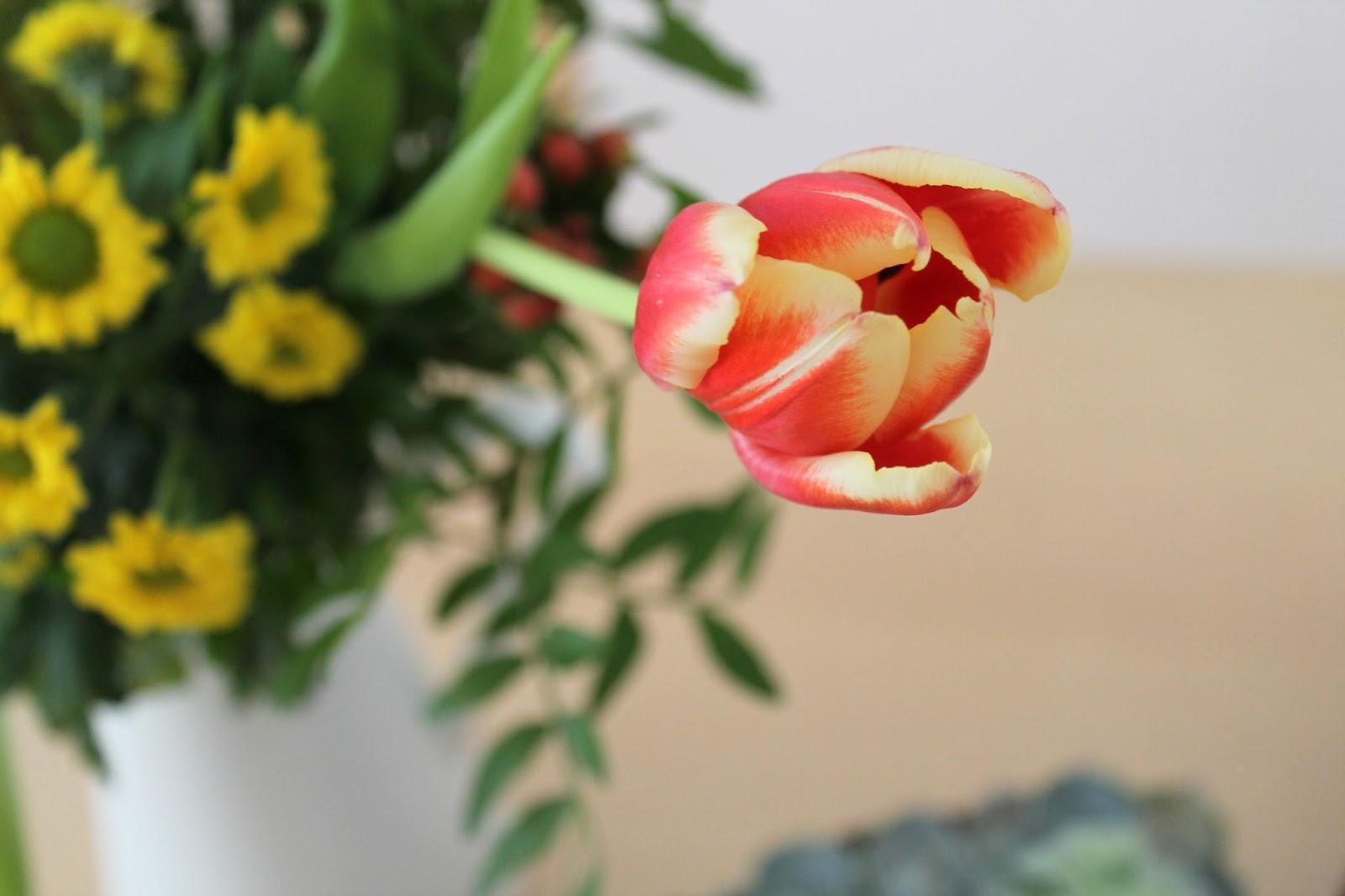 tulips halfopen spring