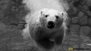 White bear in Ice