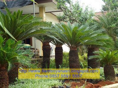 Tukang taman Surabaya Pohon Sikas