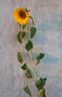 Sunflower with sunshadow