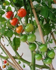 Flores e jardins plantas jardinagem e paisagismo - Tutores para tomates ...