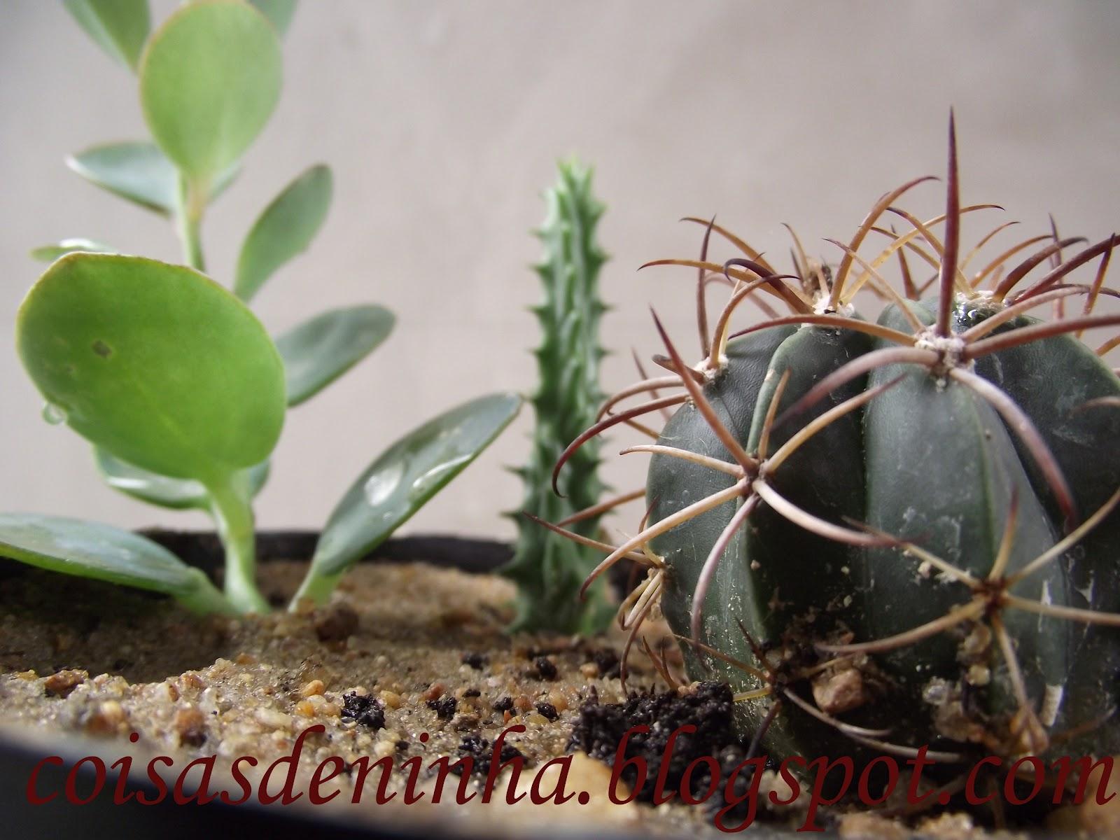 mini jardim de cactus:Coisas de Ninha: Mini jardim de cactos.