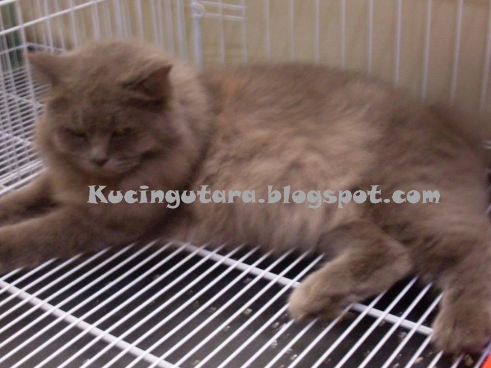 Kucing Utara Malaseb Rawatan Kurap Kucing