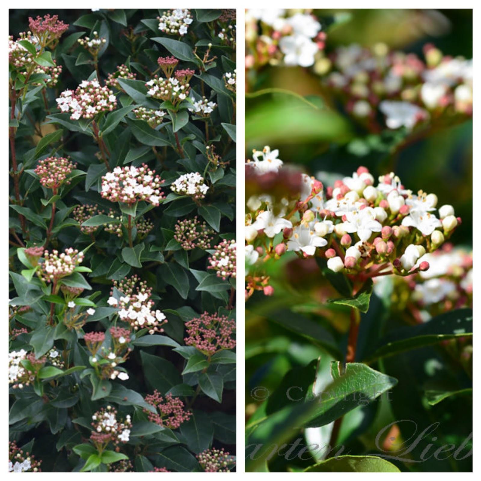 """Garten Liebe zwei wunderbare Sträucher Viburnum tinus """"Eve Price"""