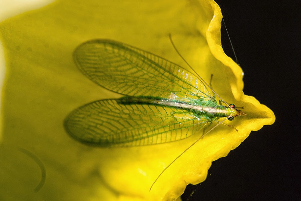 Green Lacewing sp - Milton Keynes