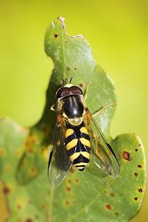Para ampliar Dasysyrphus albostriatus hacer clic