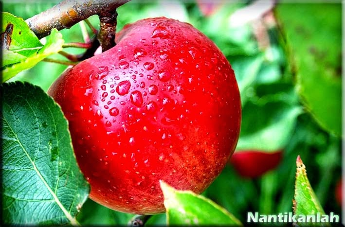 Manfaat Buah Apel Untuk Kesehatn