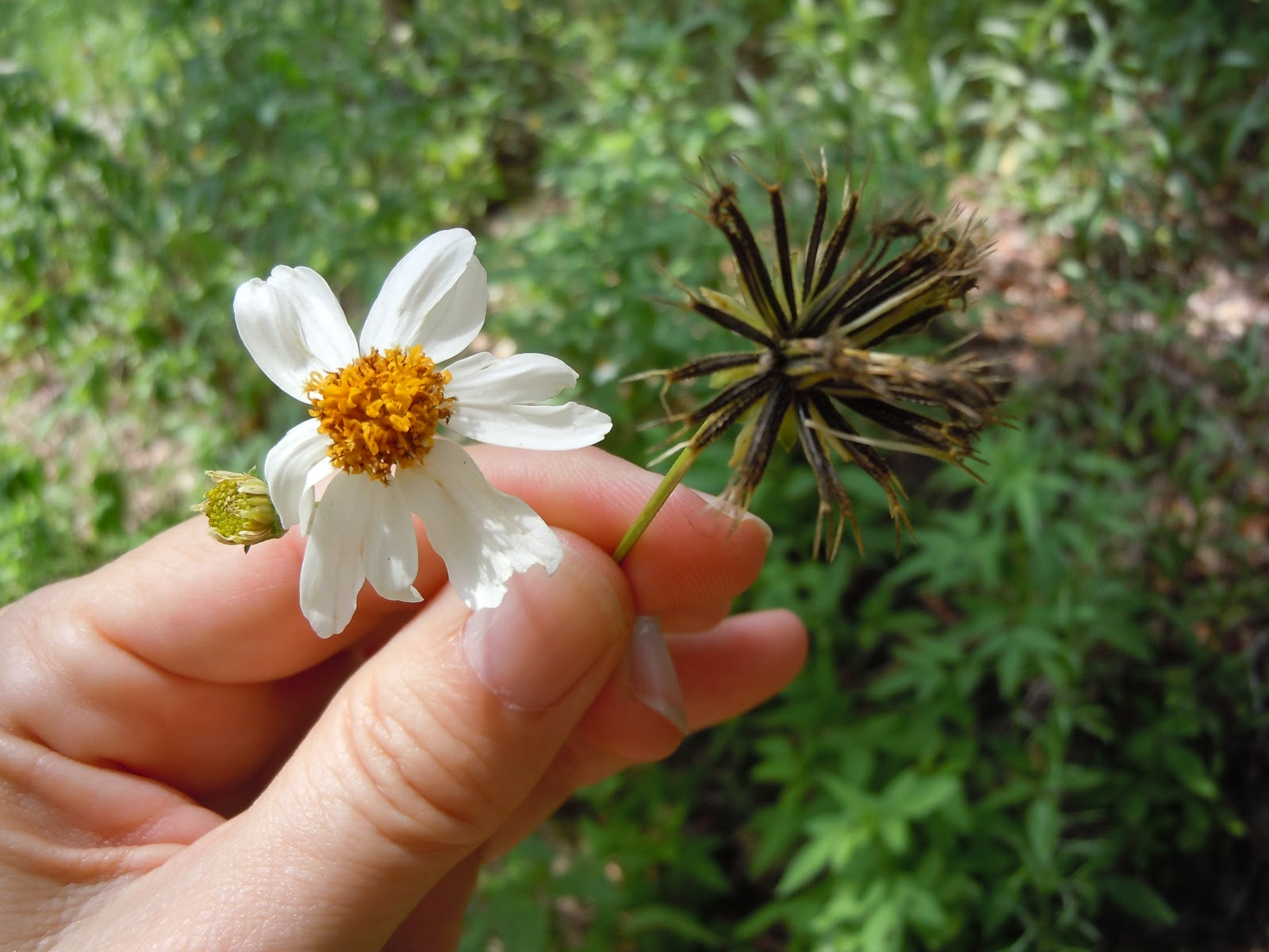 Simply living its hard to love a plant like spanish needle spanish needles small daisylike flower left turns into a sphere of barbed seeds that latch on to anything they touch izmirmasajfo
